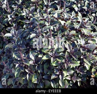 basilikum ocimum basilicum plant stock photo royalty free image 16368859 alamy. Black Bedroom Furniture Sets. Home Design Ideas