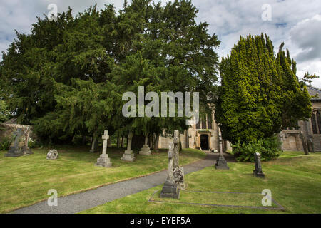 Ancient common yew trees (Taxus baccata), in the churchyard of St Cuthbert's, Beltingham, Northumberland, UK - Stock Photo