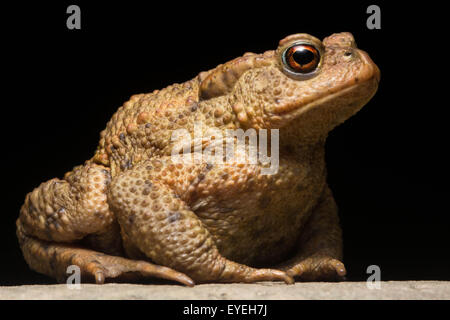 A European Toad (Bufo bufo) at night. - Stock Photo