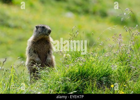 A alpine marmot (Marmota marmota) keeps an eye on its surrounding high in the alps. - Stock Photo