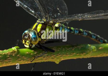 Blaugruene Mosaikjungfer, Aeshna cyanea, - Stock Photo