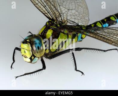 Blaugruene Mosaikjungfer, Aeshna cyanea, Raubinsekt, - Stock Photo