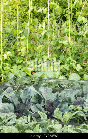 Allotment vegetables protected from butterfly and bird damage with netting, England, UK - Stock Photo