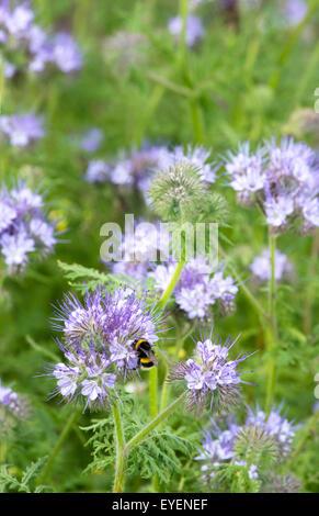 Phacelia a Bee friendly plant - Stock Photo