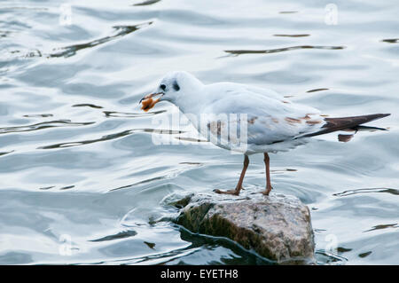 seagull standing on a rock with a piece of bread in the beak - Stock Photo