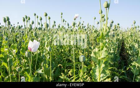 Fresh green poppy heads on field in Poland - Stock Photo