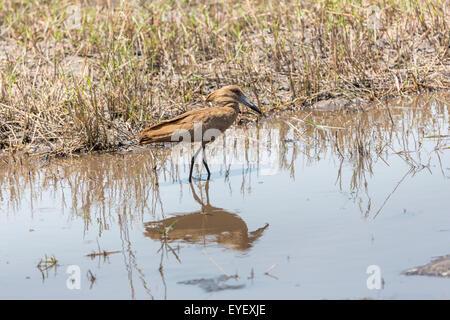 Hamerkop (Scopus umbretta), a brown wading bird, in shallow water at the muddy edge of a lake Okavango Delta, northern - Stock Photo