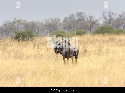 Blue wildebeest (or gnu), Connochaetes taurinus, in long dry grass, typical savannah landscape in the Okavango Delta, - Stock Photo