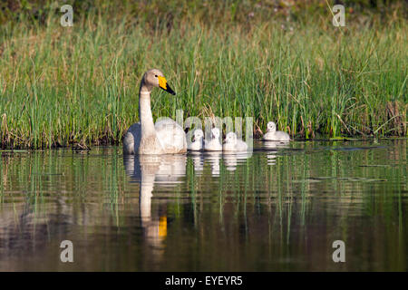 Whooper swan (Cygnus cygnus) adult swimming in lake with cygnets in spring in Scandinavia - Stock Photo