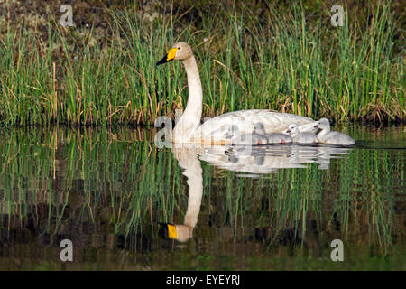 Whooper swan (Cygnus cygnus) adult swimming in lake with cygnets in spring in Scandinavia - Stock Photo