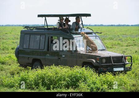 Africa,Safari,Jeep,Tanzania,Cheetah - Stock Photo