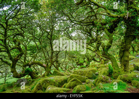 Wistman's Wood, a high-altitude oakwood (Quercus robur), near Two Bridges, Dartmoor National Park, Devon, England, - Stock Photo