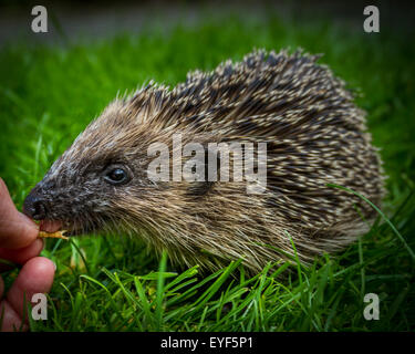 Young hedgehog (Erinaceus europaeus) being hand fed dried mealworms in the daytime. Taste before you try! - Stock Photo