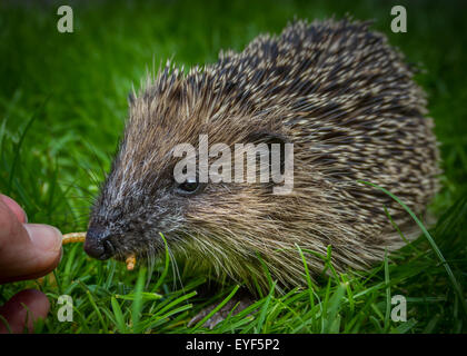 Young hedgehog (Erinaceus europaeus) being hand fed dried mealworms in the daytime - Stock Photo