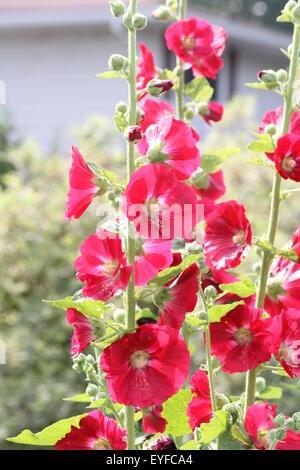 Hollyhock (Alcea rosea)  Deep Red Hollyhock growing on the edge of a flower garden. - Stock Photo