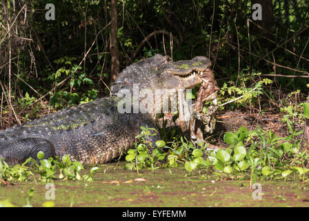 American alligator (Alligator mississippiensis) eating a deer, Brazos Bend state park, Needville, Texas, USA. - Stock Photo