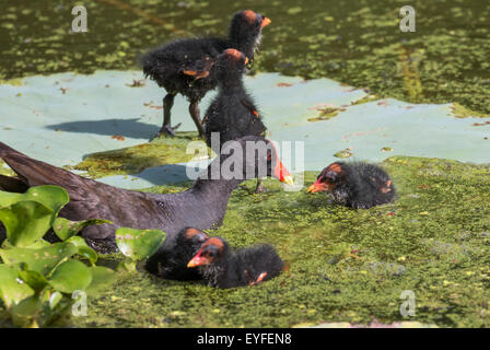Common Gallinule (Gallinula galeata) feeding chicks, Brazos Bend state park, Needville, Texas, USA. - Stock Photo