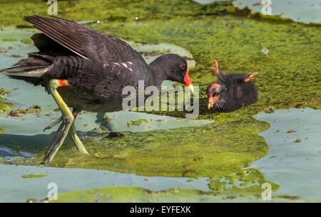 Common Gallinule (Gallinula galeata) feeding a chick, Brazos Bend state park, Needville, Texas, USA. - Stock Photo
