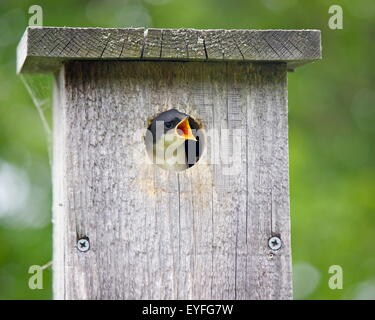 A hungry baby tree swallow (Tachycineta bicolor) in a bird house opening it's mouth for food - Stock Photo