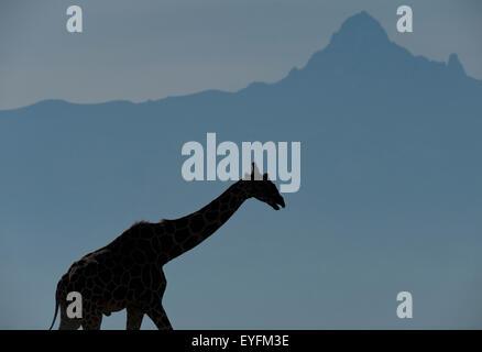 Giraffe In Front Of Kilimanjaro Mountain Stock Photo