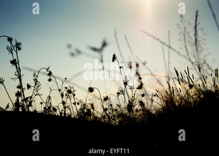 Grass silhouettes in a summer sunset light on a field - Stock Photo