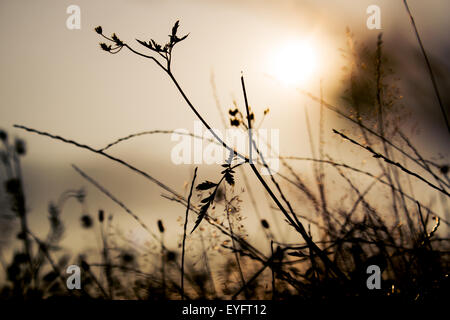 Grass silhouettes in a sunset light - Stock Photo