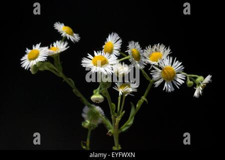 Feinstrahl, Erigeron Speciosus, Berufskraut, - Stock Photo