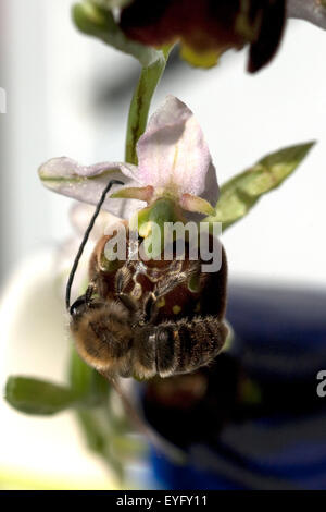 Bienen-Ragwurz, Ophrys apifera, Orchidee - Stock Photo