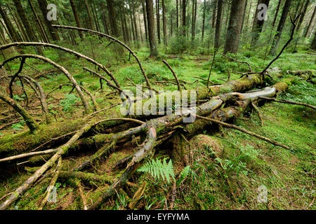 Deadwood in primeval spruce forest, Norway Spruce (Picea abies), Harz National Park, Lower Saxony, Germany - Stock Photo