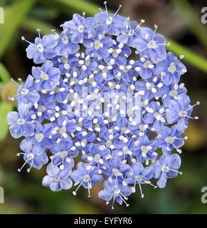 Blaudolde; Trachymene coerulea - Stock Photo