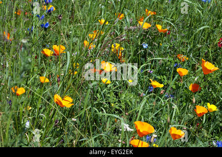 Blumenwiese, Wiesenblumen, Wildblumen, - Stock Photo