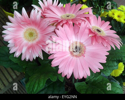 Gerbera, Afrika, Madagaskar, Sommerblume, - Stock Photo