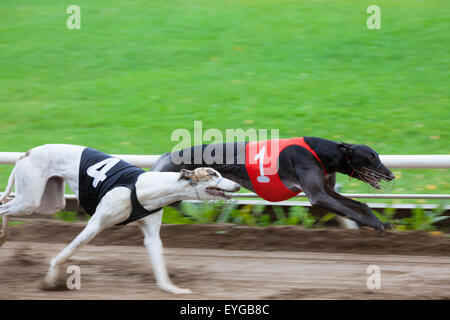 Greyhound dogs racing - Stock Photo