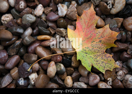 Single autumn leaf on wet pebbles. - Stock Photo