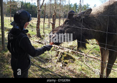 Lessebo, Sweden, boy is feeding a moose - Stock Photo