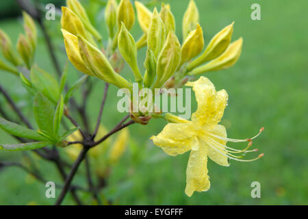 Yellow blooms Rhododendron (Rhododendron luteum) after rain - Stock Photo