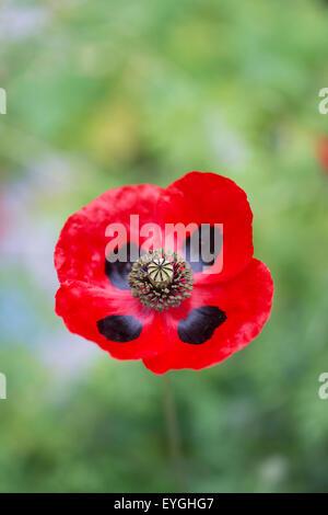 Papaver commutatum . Ladybird poppy. Selective focus