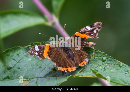 Red Admiral (Vanessa atalanta) butterfly with badly damaged wings - Stock Photo