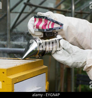 Beekeeper in protective clothing with bee smoker opens beehive to inspect combs from honey bees (Apis mellifera) - Stock Photo