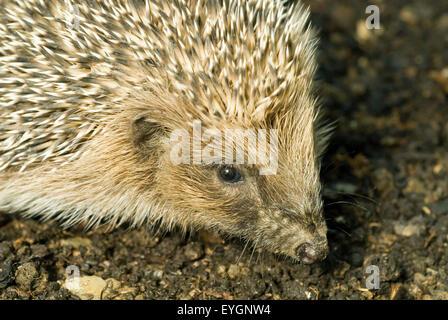 Little Hedgehog (Erinaceus europaeus) - Stock Photo
