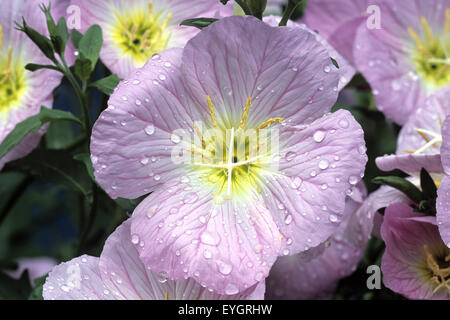 Rosabluehende Nachtkerze, - Stock Photo