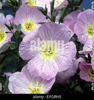 Rosabluehende Nachtkerze - Stock Photo