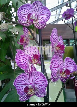 schmetterlingsorchidee; Malaienblume, Nachtfalter-Orchidee, Phalaenopsis; - Stock Photo