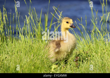 A little Canada goose (Branta canadensis) gosling standing in the grass near the edge of a pond - Stock Photo