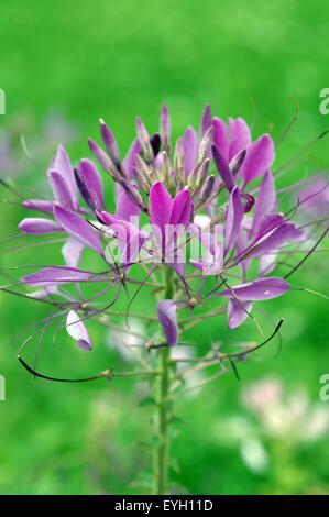 Spinnenblume; Spider flower; - Stock Photo