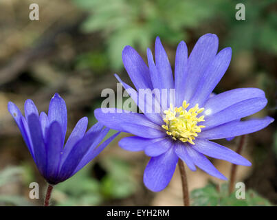 Strahlenanemone, Anemone Blanda - Stock Photo