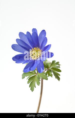 Strahlenanemone; Anemone; Blanda; - Stock Photo