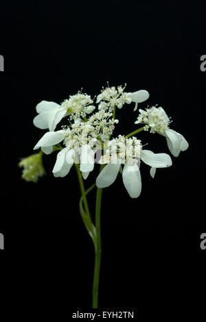 Strahlenbreitsame, Orlaya grandiflora, - Stock Photo