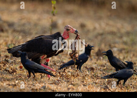 A Red-headed Vulture feeding on a baby langur carcass amidst protests from some jungle crows - Stock Photo
