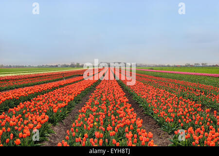 Rows of colorful tulips on farm in Holland - Stock Photo